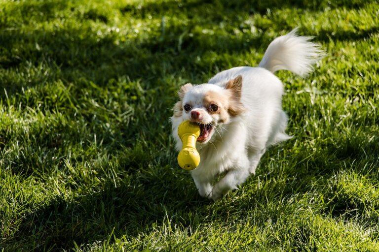 Lille hund apporterer