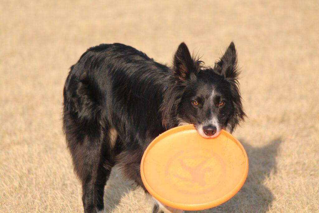 Apportering med frisbee